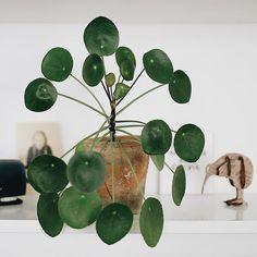 Hat meine lange Abwesenheit zum Glück unbeschadet überstanden - um meine Pilea habe ich mir die meisten Gedanken gemacht weil ich da so meinen ganz eigenen Gießrythmus habe. Aber meine Nachbarin hat alles gegeben! Habt ihr auch so jemanden der sich kümmert wenn ihr nicht da seid? ________________ #pilea #urbanjunglebloggers #plants #instaplant #greenvibes #plantlove #weloveplants #greenliving
