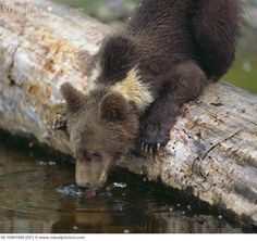 grizzly bear cub - Google Search Grizzly Bear Cub, Bear Cubs, Bears, Brown Bear, Nature, Animals, Google Search, Cubs, Naturaleza