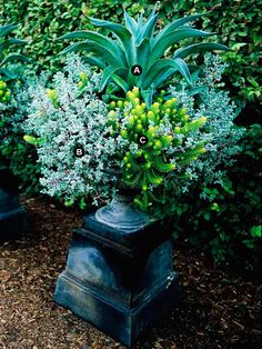 Sculpture on a Pedestal -  Place your potted garden on overturned pots to grab attention with bold plant forms. This garden planted in an urn rests on a square upside down black pot.        A. Dwarf century plant (Agave desmettiana) -- 1      B. Ice plant (Lampranthus deltoides) -- 3      C. Angelina sedum (Sedum rupestre 'Angelina')-- 3