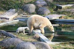 Premiers pas de l'ourson de Mulhouse. Elle s'appelle Nanuq! Aquariums, Parcs, Polar Bear, Cute Animals, Zoos, Alsace, Videos, Linda Park, Stork