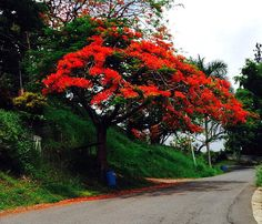A flamboyan tree in full bloom along a country road in Puerto Rico.