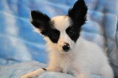 Black and White Papillon Puppies UK Puppy List, Dog Breeds Pictures, All About Animals, Puppy Breeds, Papillon Puppies, Corgi, Black And White, Doggies, Little Puppies