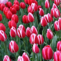 Darwin-Tulpe rosy delight