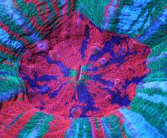 What is it? An eye? No, it is an Acan coral. To buy it for your aquarium, one like this costs $500.