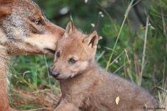 Help the Iberian Wolf -- Indiegogo