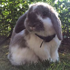 Beautiful baby girl. Holland Lop.