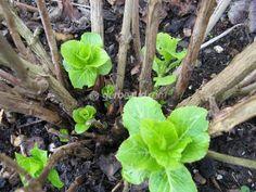 La poda de la hortensia Rooting Hydrangea Cuttings, Flowering Shrubs, Green Garden, Blooming Flowers, Outdoor Areas, Hedges, Indoor Garden, Garden Inspiration, Organic Gardening