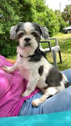 Shih Tzu Rescue | Available Dogs for Adoption Shitzu Puppies, Shih Tzu Puppy, Dogs And Puppies, Small Dog Rescue, Rescue Dogs For Adoption, Teddy Bear Poodle, Shih Tzu Rescue, Teacup Dogs, Basset Hound Dog