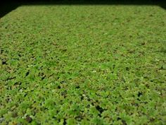 How to Grow Duckweed and Azolla - food for chooks :) Hydroponic Farming, Hydroponic Growing, Aquaponics System, Permaculture, Hydroponics, Aquaponics Fish, Duck Weed, Growing Mushrooms, Garden Pests