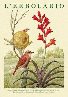 NOVEMBRE Calendario L'Erbolario 2016 Illustrazioni Franco Testa Testi: Sandro Fusina Arti Director: Angelo Sganzerla http://www.erbolario.com/it/azienda/pubblicazioni/calendari/calendario-2016/ Genus Dyckia, dedicato a JOSEPH ZU SALM-REIFFERSCHEIDT-DYCK, 1773-1861. Dyckia remotiflora (Bromeliacee) - nido di fornaio rosso - Uruguay