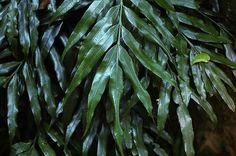 Lomariopsis spectabilis (Kunze) Mett. 蘿蔓藤蕨