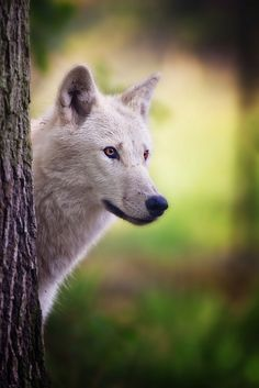 White wolf by Stefan Betz, Naturfotografie.