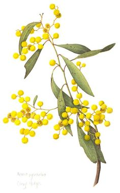 'Acacia pycnantha – Golden Wattle' by Cheryl Hodges - Pflanzen Australian Wildflowers, Australian Native Flowers, Australian Plants, Illustration Blume, Illustration Botanique, Botanical Illustration, Botanical Drawings, Botanical Prints, Art Floral