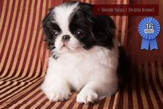 Japanese Chin female dog by Alegria Japanese Chin Kennel of Florida.