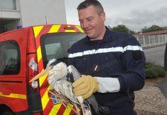 Sauvé par les pompiers de Vesoul, ce héron est désormais hors de danger
