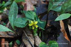 Viola rotundifolia - Roundleaf yellow violet.