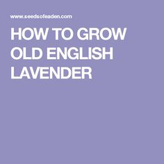 HOW TO GROW OLD ENGLISH LAVENDER
