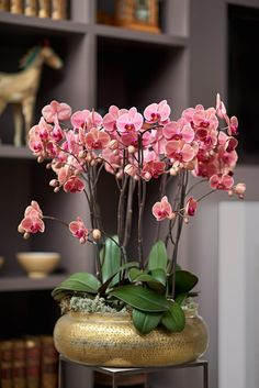 Pink copepry Phalaenopsis Orchid in a golden planter