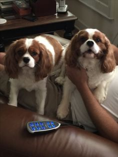 Pin By Tina Phillips On Cavalier King Charles Spaniel Xvli Cavalier King Charles Dog King Charles Dog Cavalier King Charles