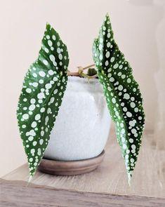 Big Indoor Plants, Little Plants, Cool Plants, Indoor Garden, Potted Garden, Hanging Plants, Begonia Maculata, Angle Wings, Low Light Plants