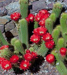 Red Torch-Echinopsis huasha
