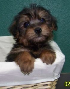 #yorkiepoo #dogs #cute puppy- what I imagine our dog Griffin looked like as a baby. :)