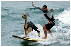 Best picture of a surfing llama you will see all day.