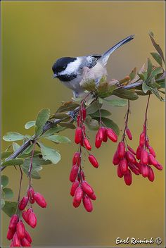 A Black-Capped Chickadee.      (Photo By: Earl Reinink on Flickr.)