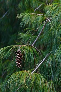 White Pine Pine, Fir and Spruce – used to invoke The Lord of the Greenwood. A powerful cleanser when added to a herb mixture as needles.