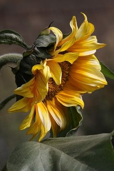 flowersgardenlove:  Sunflower Flowers Garden Love