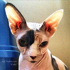 LiLNudists.com I Love Cats, Cute Cats, Sphinx Cat, Here Kitty Kitty, Domestic Cat, Sphynx, Cat Breeds, Cats And Kittens, French Bulldog