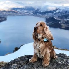 CockerNation sur Instagram : 😊❤️ Love Cocker Spaniels? Join Cocker Nation here and on Facebook! ➡️Tag photos with #CockerNation #cockerspaniel #cockerspaniels #dog #dogs…