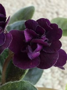 Houseplants That Filter the Air We Breathe Jolly Prince Dark Purple Pansy. Crown Variegated Dark Green And Gold, Plain.