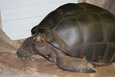 Aldabra giant tortoise | Aldabra Giant Tortoise - Wallpapers, Pictures, Pics, Photos, Images ...  THEY SEEM TO ALMOST BE POSING