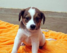 Cooper is an adoptable Spaniel Dog in Marietta, GA Mom and 9 babies were found up near a lake area. These little spaniel mixes are beautiful and  ... ...Read more about me on @Petfinder.com.com
