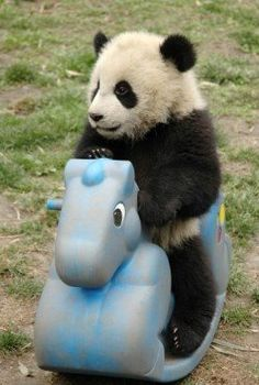 Pandas in captivity love enrichment/play items like swings and toys... so cute!