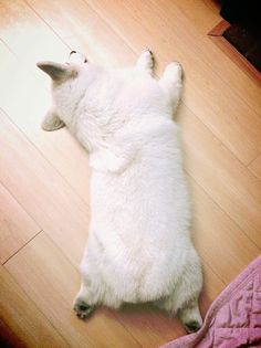 'pose' by..  Winston the white corgi