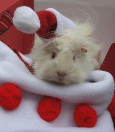 christmas stocking guinea pig