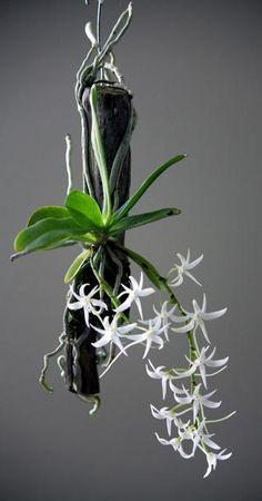 Orchid (Aerangis biloba 'Jason') Mounted to Hanging Moss-Covered Branch