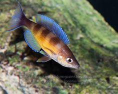 Cyprichromis zonatus. (Tanganyika Cichild). www.tanganyika-cichlids.es/foro