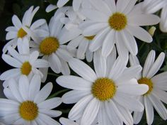 Daisy Love, Pretty Flowers, Flower Power, Ornaments, Daisies, Holiday, Nature, Plants, Beautiful