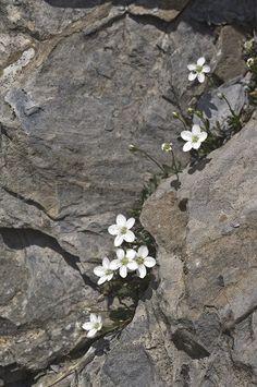 moehringia lebrunii flowers, ligurian alps, italy