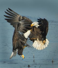 Bald Eagles fighting.