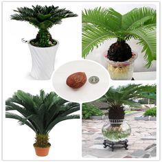 Cycas Seeds Potted balcony planting  flower seed  for home garden //Price: $8.99 & FREE Shipping //     #flower
