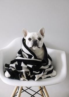 French bulldog wrapped in black and white blanket. What a sweetie! Pet photography.