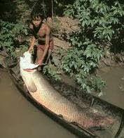 Pirarucúes en el Valle del Cauca. Los peces pirarucúes, especie típica del Amazonas, fue encontrada en el centro del Valle del Cauca. Este es uno de los peces con escamas más grandes del mundo, que puede alcanzar hasta 3 metros de largo. Los pirarucúes fueron encontrados en un humedal, se hallaron ejemplares de hasta 200 kilos de peso
