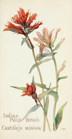 Margaret Armstrong - Field Book of Western Wild Flowers - Indian Paintbrush Botanical Flowers, Botanical Prints, Indian Paintbrush Flowers, Illustration Arte, Western Wild, Botanical Drawings, 3d Prints, Floral Illustrations, Gravure