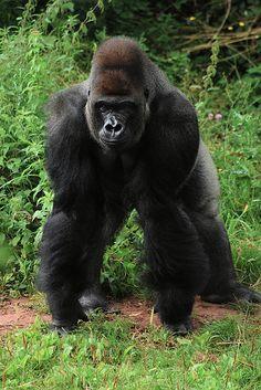 Gorila, magnificent