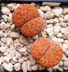 Lithops fulviceps v. fulviceps