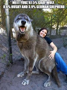 He is part grey wolf, part Siberian husky and German shepherd. Meet Yuki, the Wolf-dog. Source by nynnotv The post Meet Yuki, the Wolf-dog. appeared first on Calvert Kennels. Giant Dogs, Big Dogs, Dogs And Puppies, Wolf Puppies, Large Dogs, Doggies, Cute Baby Animals, Animals And Pets, Funny Animals